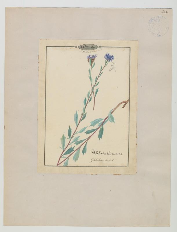 Globulaire turbith ; plante à fleurs