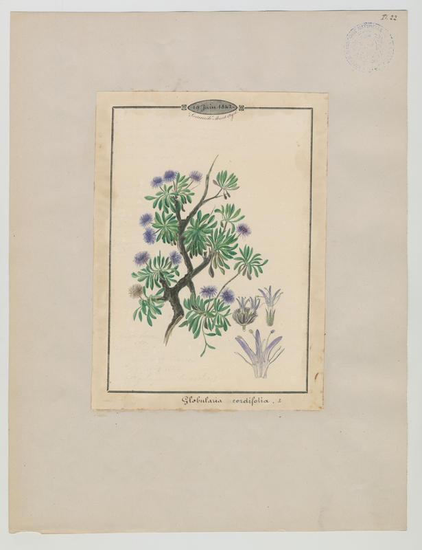 Globulaire à feuilles cordées ; plante à fleurs_0