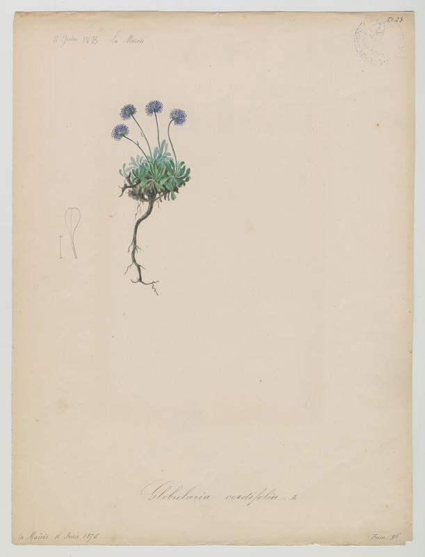 BARLA Jean-Baptiste (attribué à) : Globulaire à feuilles cordées, plante à fleurs