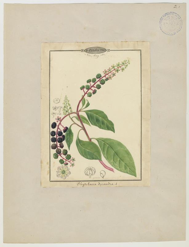BARLA Jean-Baptiste (attribué à) : Raisin d'Amérique, Teinturier, plante à fleurs