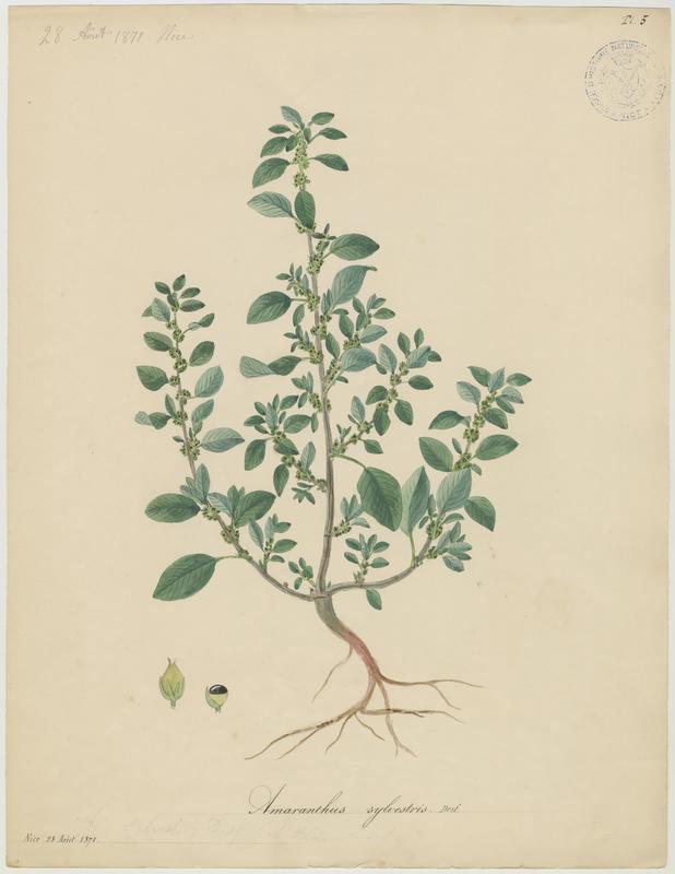 Amarante des bois ; plante à fleurs_0