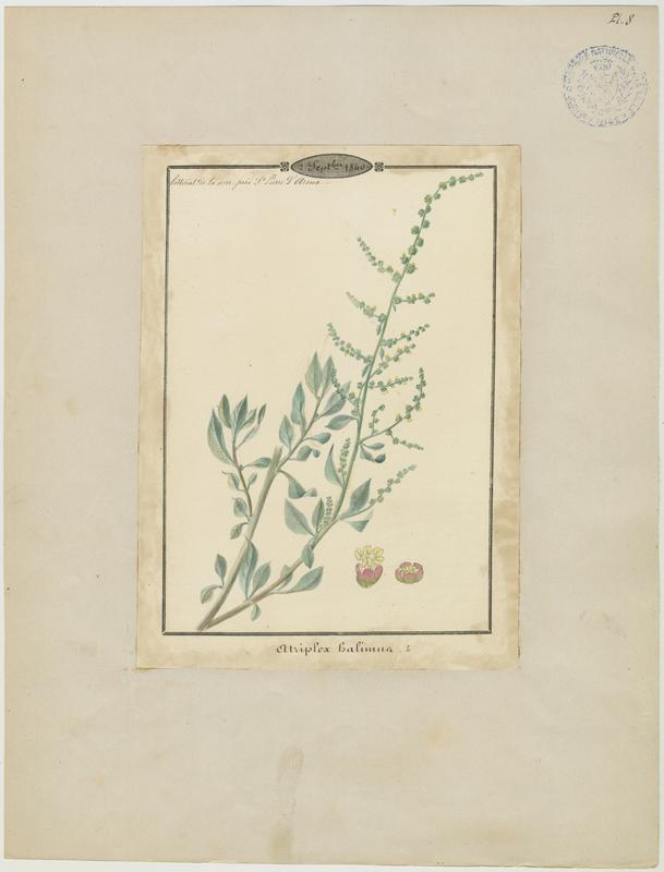 Arroche marine ; Pourpier de mer ; Arroche maritime ; Arroche halime ; plante à fleurs_0