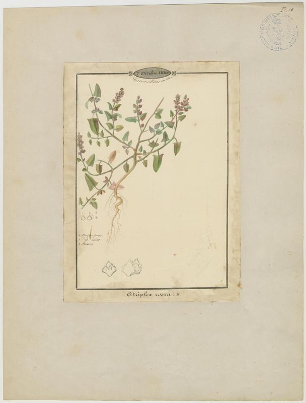 BARLA Jean-Baptiste (attribué à) : Arroche rosée, plante à fleurs