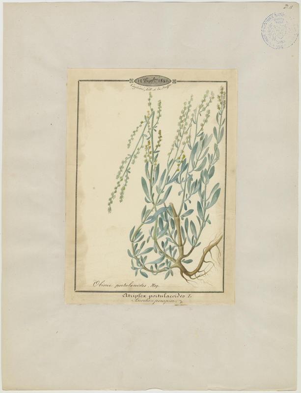 BARLA Jean-Baptiste (attribué à) : Arroche-pourpier, plante à fleurs