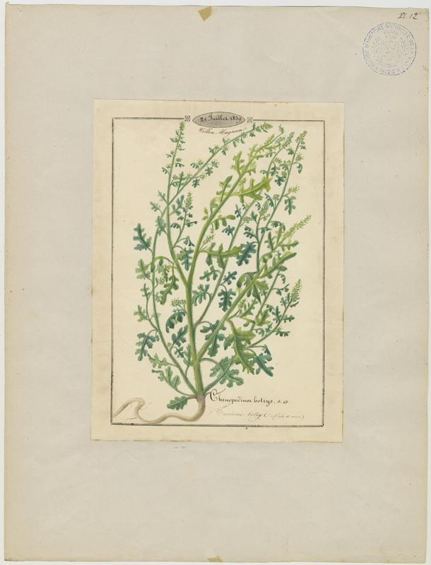 BARLA Jean-Baptiste (attribué à) : Ansérine botrys, plante à fleurs