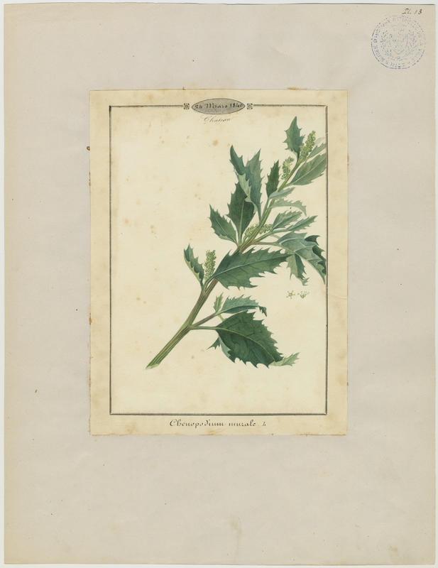 BARLA Jean-Baptiste (attribué à) : Ansérine des murs, plante à fleurs