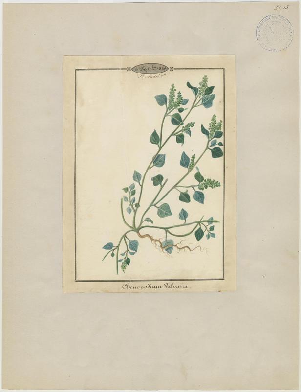 Chénopode fétide ; plante à fleurs_0