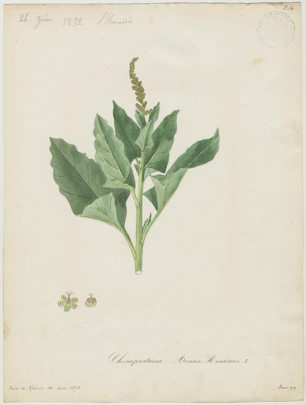 Chénopode bon-henri  ; plante à fleurs_0