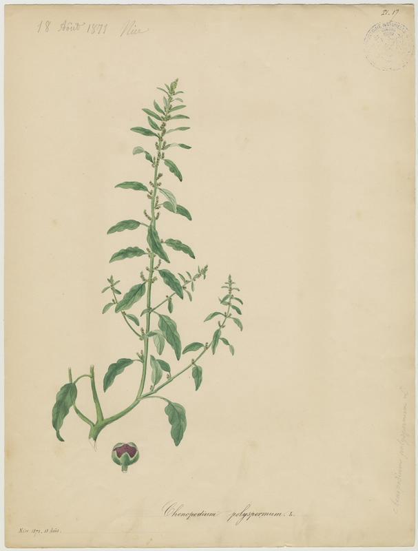 BARLA Jean-Baptiste (attribué à) : Chénopode à graines nombreuses, plante à fleurs