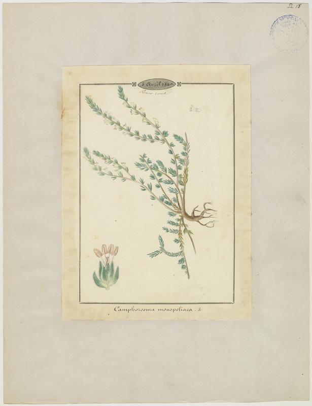 BARLA Jean-Baptiste (attribué à) : Camphorine de Montpellier, plante à fleurs