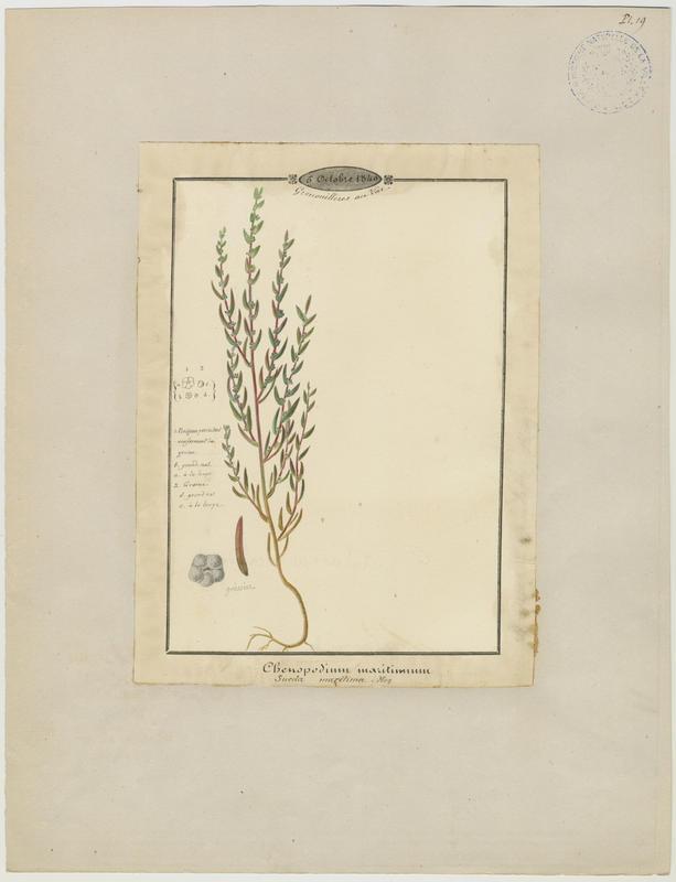 BARLA Jean-Baptiste (attribué à) : Suéda maritime, plante à fleurs