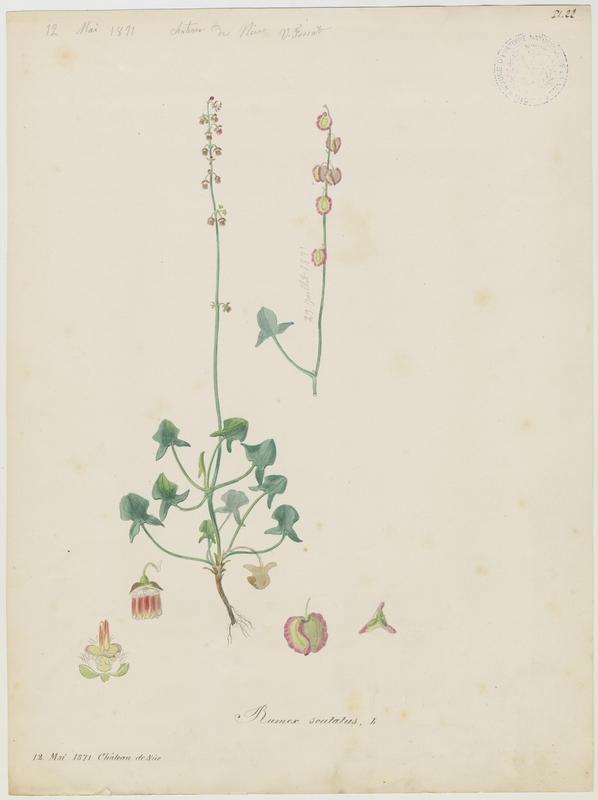 Oseille ronde ; Oseille à soupe ; plante à fleurs_0