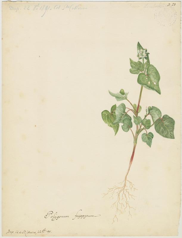 BARLA Jean-Baptiste (attribué à) : Blé noir, Sarrasin, plante à fleurs