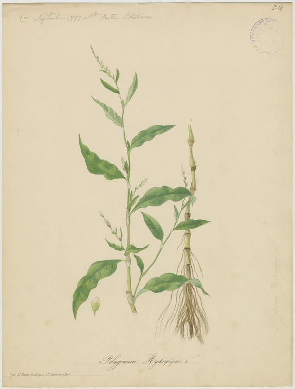 BARLA Jean-Baptiste (attribué à) : Poivre d'eau, plante à fleurs