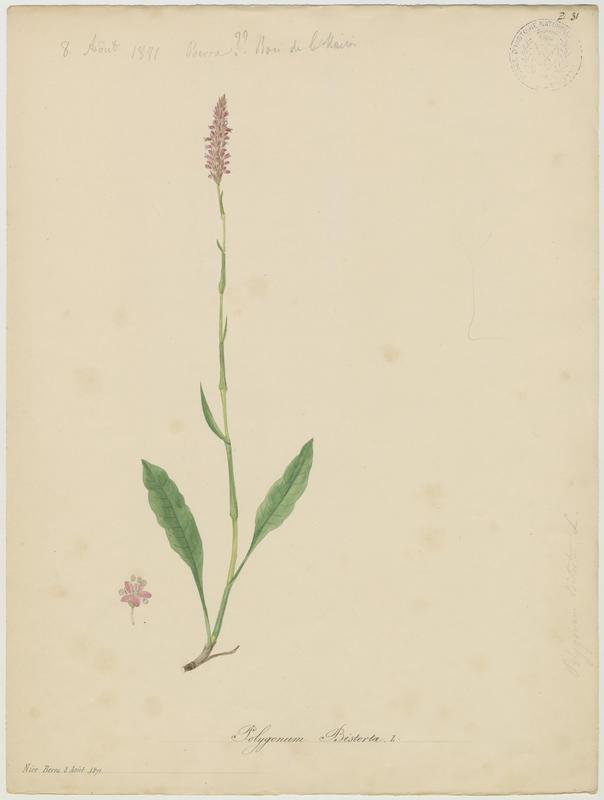 BARLA Jean-Baptiste (attribué à) : Bistorte, plante à fleurs