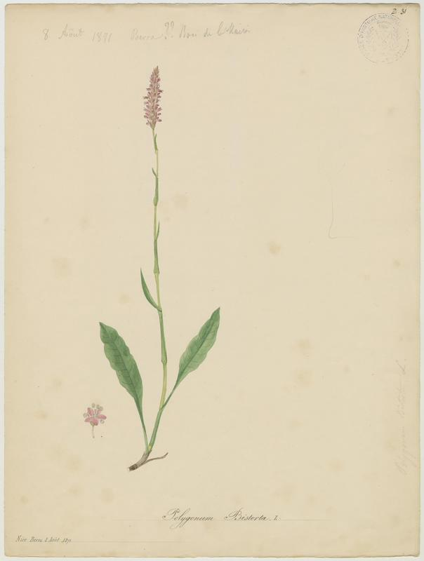 Bistorte ; plante à fleurs_0
