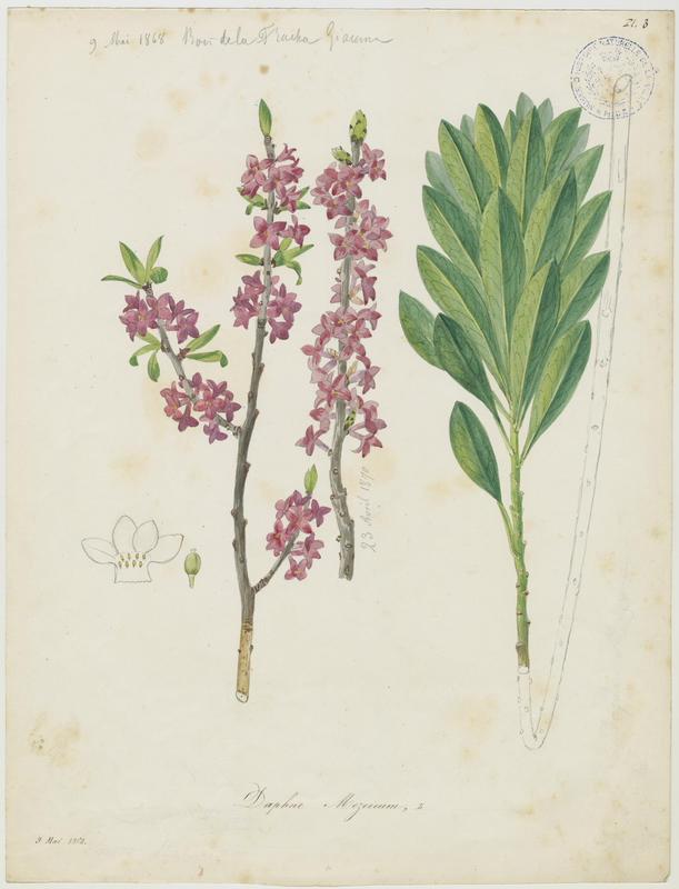 BARLA Jean-Baptiste (attribué à) : Daphné bois-gentil, Bois-joli, Jolibois, Verdelet, Vert-bois, Bois-gentil, plante à fleurs