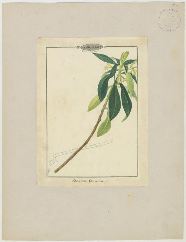 Daphné lauréole ; Laurier des bois ; plante à fleurs_0