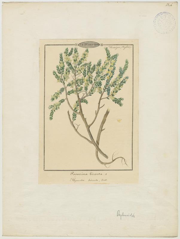 BARLA Jean-Baptiste (attribué à) : Passerine hérissée, Passerine hirsute, plante à fleurs
