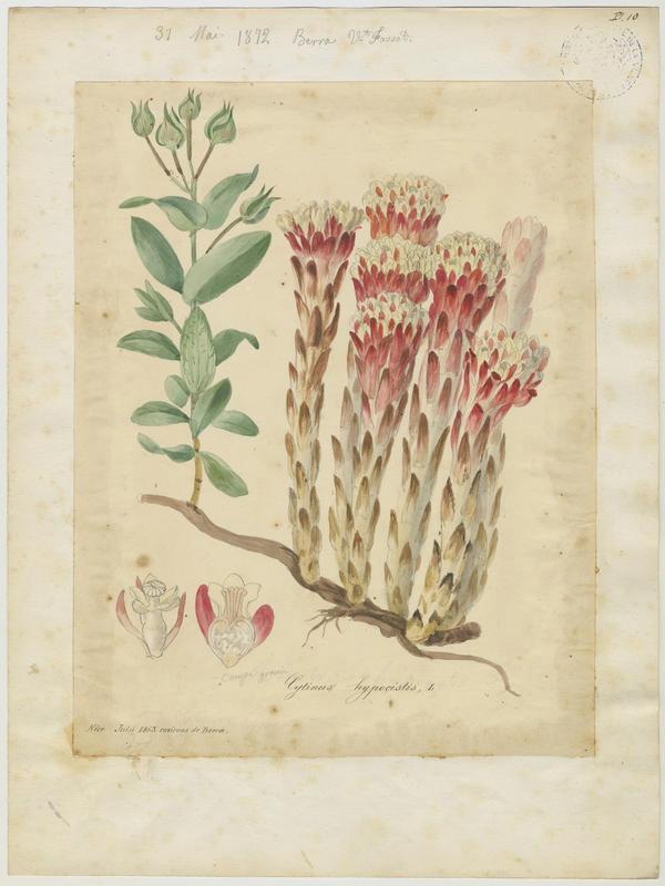 FOSSAT Vincent (aquarelliste, peintre) : Cytinet de L'Écluse, plante à fleurs