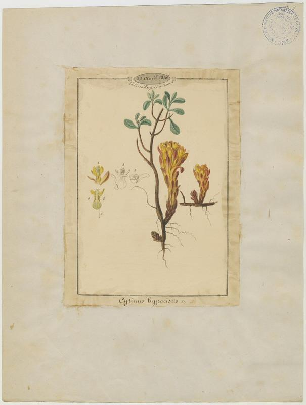 BARLA Jean-Baptiste (attribué à) : Cytinelle, plante à fleurs