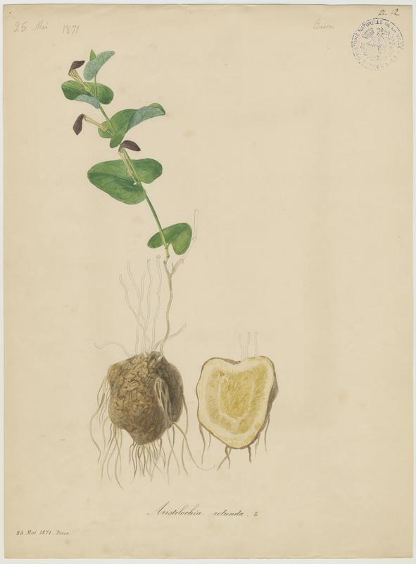 BARLA Jean-Baptiste (attribué à) : Aristoloche ronde, plante à fleurs