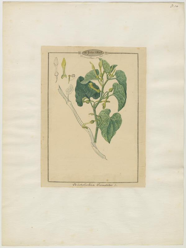 Aristoloche clématite ; plante à fleurs_0