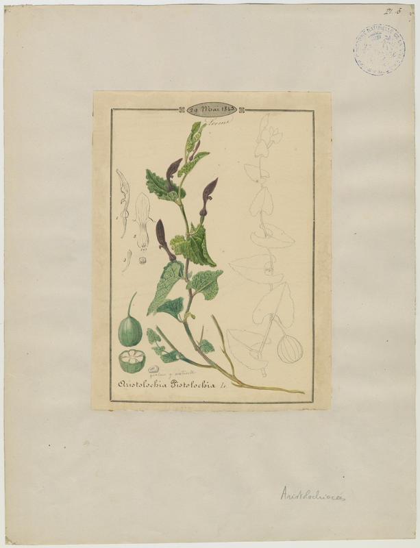BARLA Jean-Baptiste (attribué à) : Pistoloche, plante à fleurs