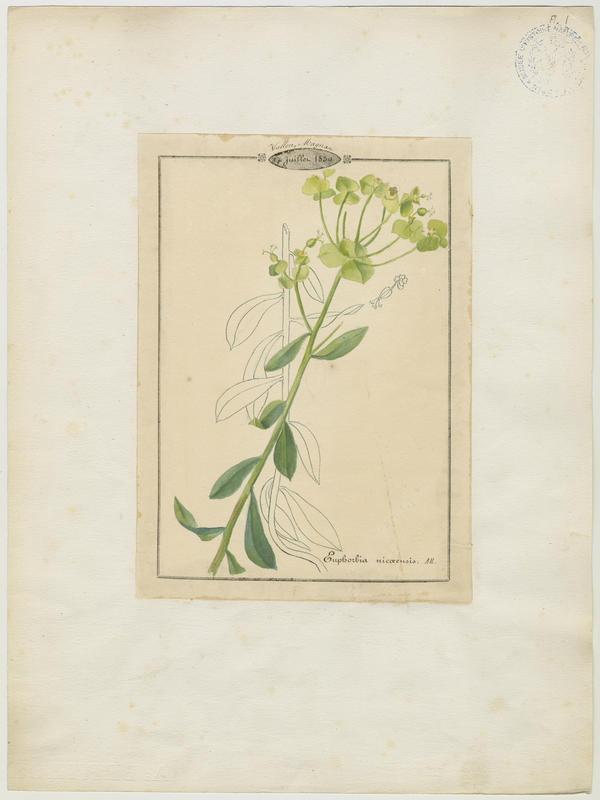 Euphorbe de Nice ; plante à fleurs_0