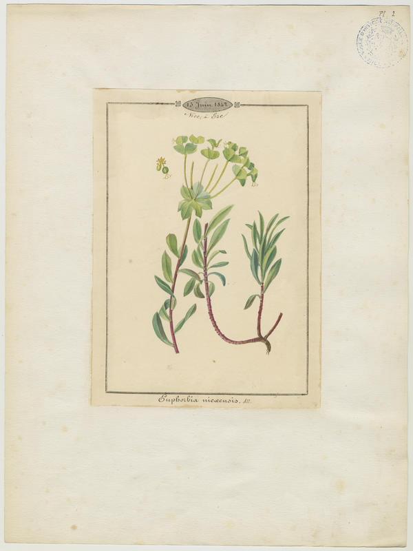 BARLA Jean-Baptiste (attribué à) : Euphorbe de Nice, plante à fleurs