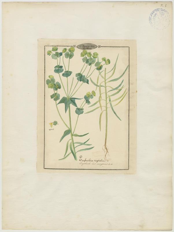 BARLA Jean-Baptiste (attribué à) : Euphorbe des moissons, plante à fleurs