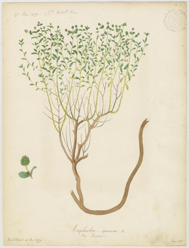 BARLA Jean-Baptiste (attribué à) : Euphorbe épineux, Tourmeri, plante à fleurs