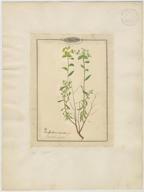 BARLA Jean-Baptiste (attribué à) : Euphorbe épineux, plante à fleurs