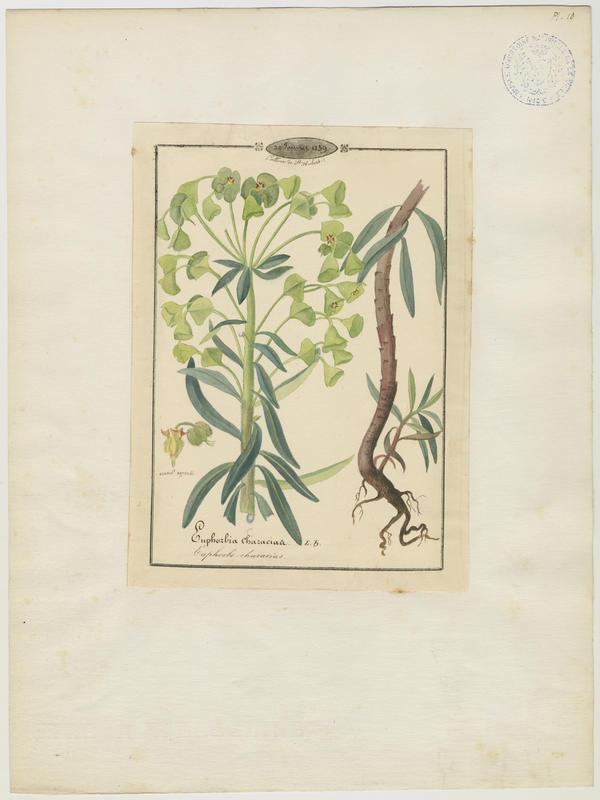 BARLA Jean-Baptiste (attribué à) : Euphorbe characias, plante à fleurs