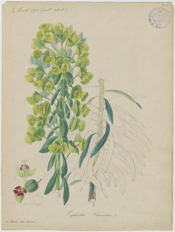 FOSSAT Vincent (aquarelliste, peintre) : Euphorbe characias, plante à fleurs