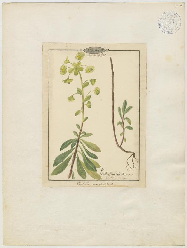 Euphorbe sauvage ; plante à fleurs_0