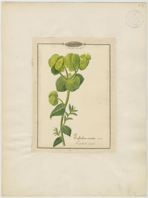 BARLA Jean-Baptiste (attribué à) : Euphorbe denté, plante à fleurs