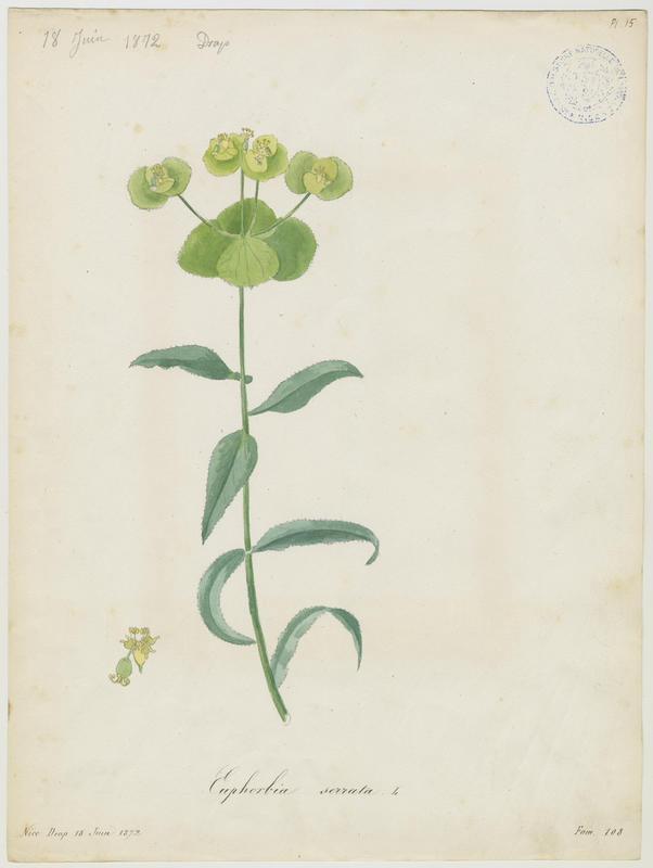 Euphorbe à feuilles dentées en scie ; Euphorbe à feuilles en scie ; plante à fleurs