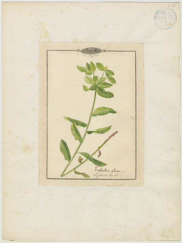 BARLA Jean-Baptiste (attribué à) : Euphorbe poilu, plante à fleurs