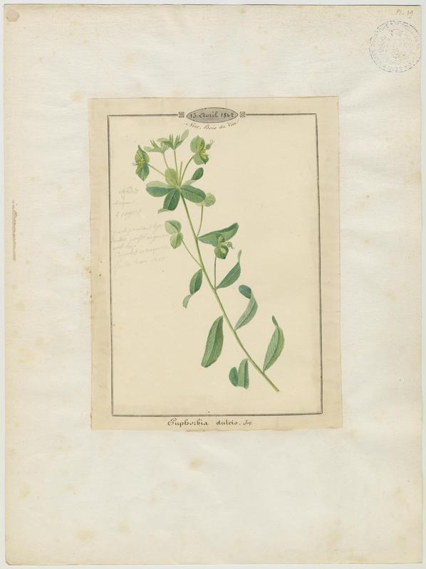 BARLA Jean-Baptiste (attribué à) : Euphorbe douce, plante à fleurs