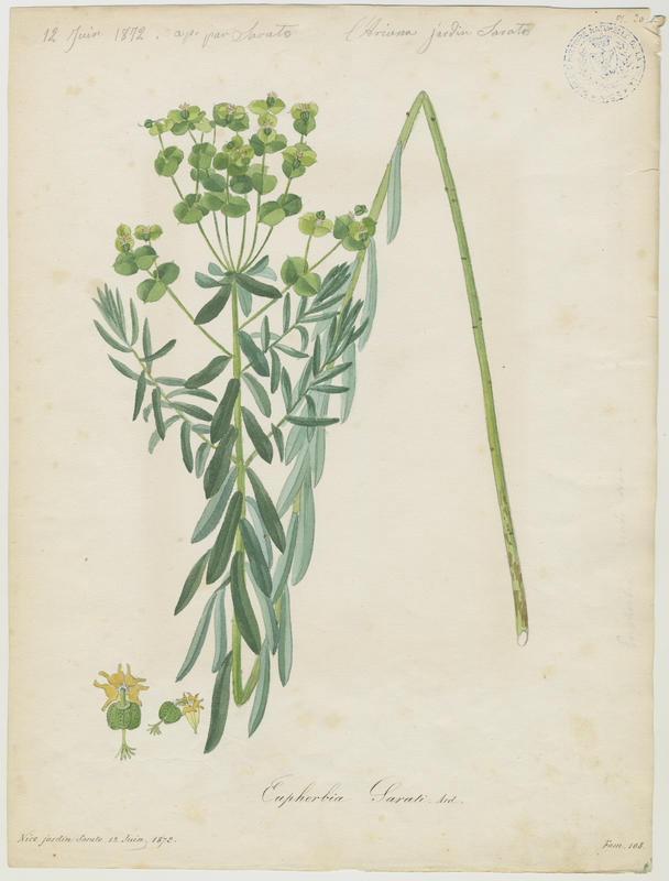 BARLA Jean-Baptiste (attribué à) : Euphorbe âcre, plante à fleurs