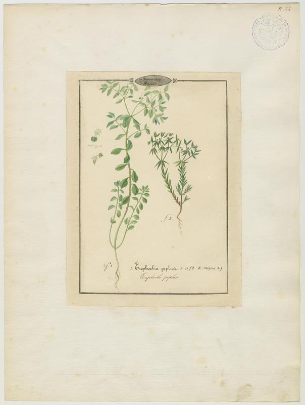 BARLA Jean-Baptiste (attribué à) : Euphorbe peplus, Euphorbe fluette, Euphorbe exiguë, plante à fleurs