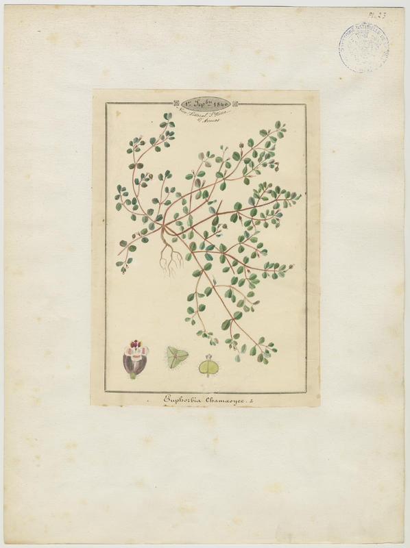 Euphorbe figuier de terre ; plante à fleurs_0