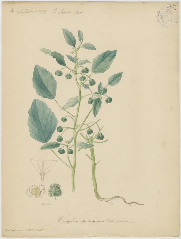 BARLA Jean-Baptiste (attribué à) : Tournesol des teinturiers, plante à fleurs