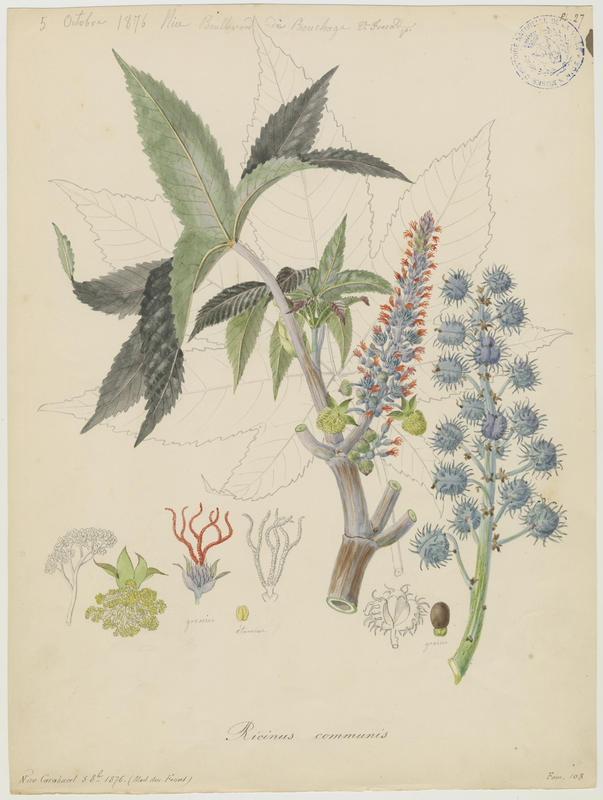 FOSSAT Vincent (aquarelliste, peintre) : Ricin, Ricin commun, plante à fleurs