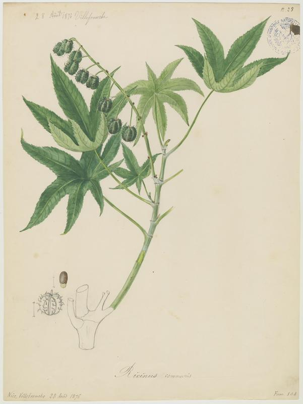 BARLA Jean-Baptiste (attribué à) : Ricin, Ricin commun, plante à fleurs