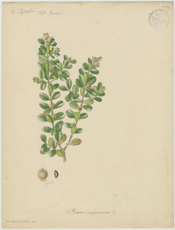Buis commun ; plante à fleurs_0