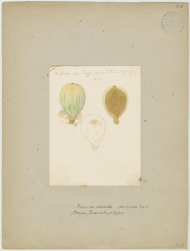 BARLA Jean-Baptiste (attribué à) : Figuier: figue, Pittalussa