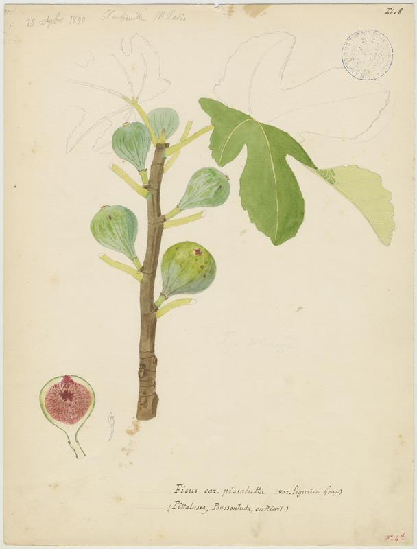 BARLA Jean-Baptiste (attribué à) : Figuier, Pittalussa