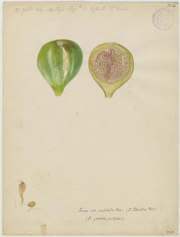 FOSSAT Vincent (aquarelliste, peintre) : Figuier : figue, Ficus gentilla